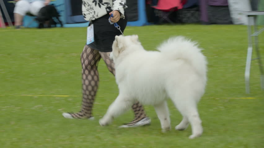 A furry white American Eskimo Dog running on the field along with his girl owner