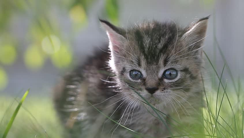 Small gray kitten in the grass | Shutterstock HD Video #18452569