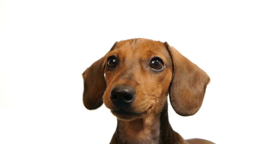 HD - Dachshund. dogs head