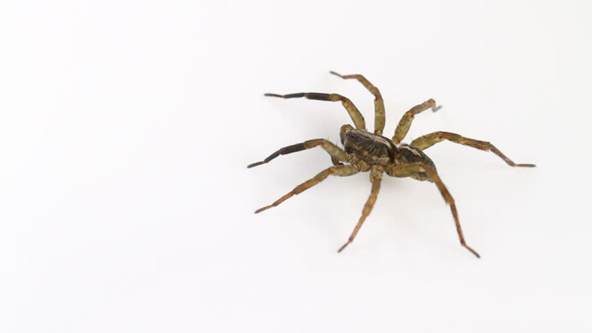 Male Trochosa ruricola (Rustic Wolf-spider) spider on a neutral white background, part of the family Lycosidae - Wolf spiders - HD stock video clip
