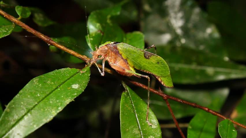 Leaf mimic katydid (Pycnopalpa cf. bicordata). Resembles a leaf with fungus spots. In tropical rainforest, Ecuador