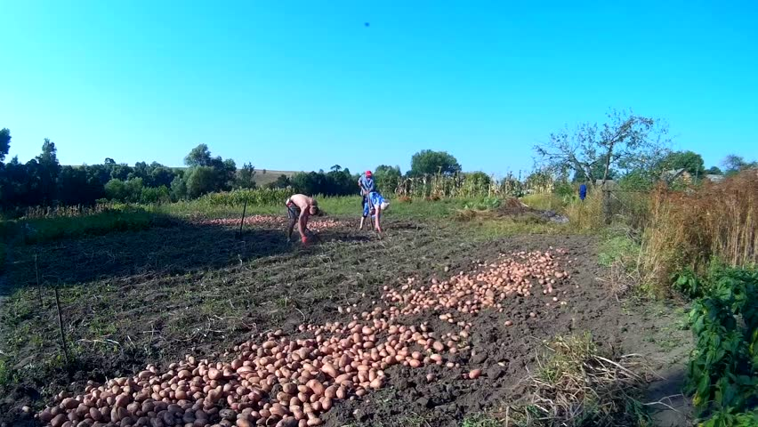 Family harvesting organic grown potato, Ukraine, Podillya Khmelnytskyi editorial | Shutterstock HD Video #19206526