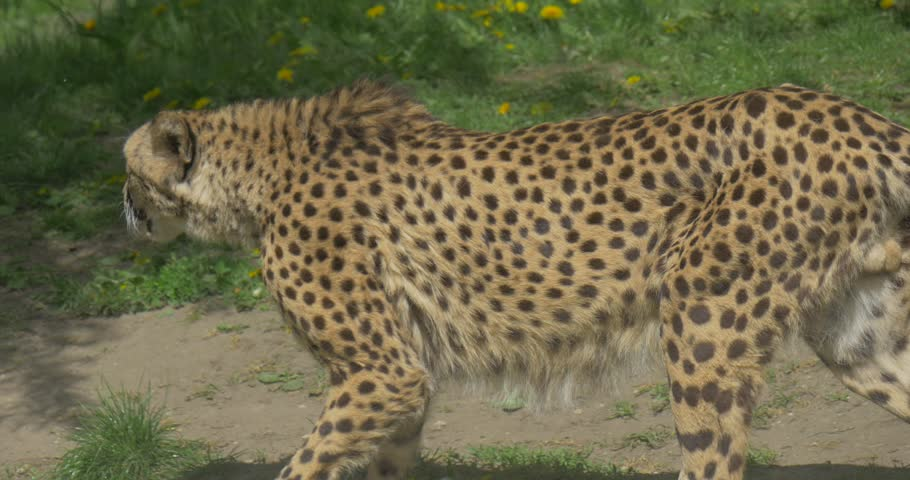 Header of Acinonyx jubatus jubatus