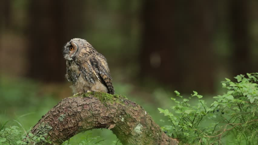 Tawny owl sitting on tree stump in the dark forest habitat. Beautiful bird sitting on the green lichen branch. Tawny owl with lichen branch. Bird in the forest. Brown bird Tawny owl in the forest.