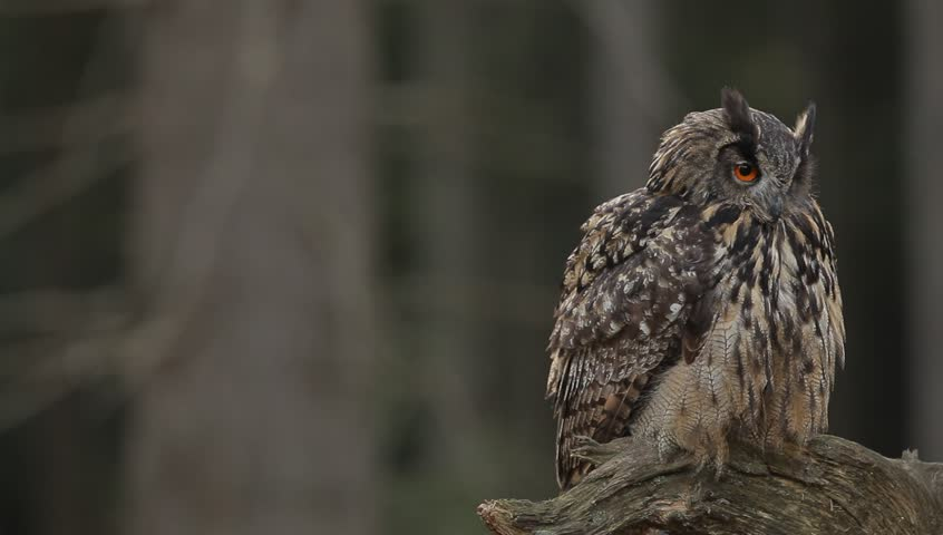 Owl in dark forest. Big Eurasian Eagle Owl, bird sitting on the tree stump with green moss in dark forest. Beautiful rare owl in the nature habitat. Animal from mountain forest, Sumava, Czech Republic