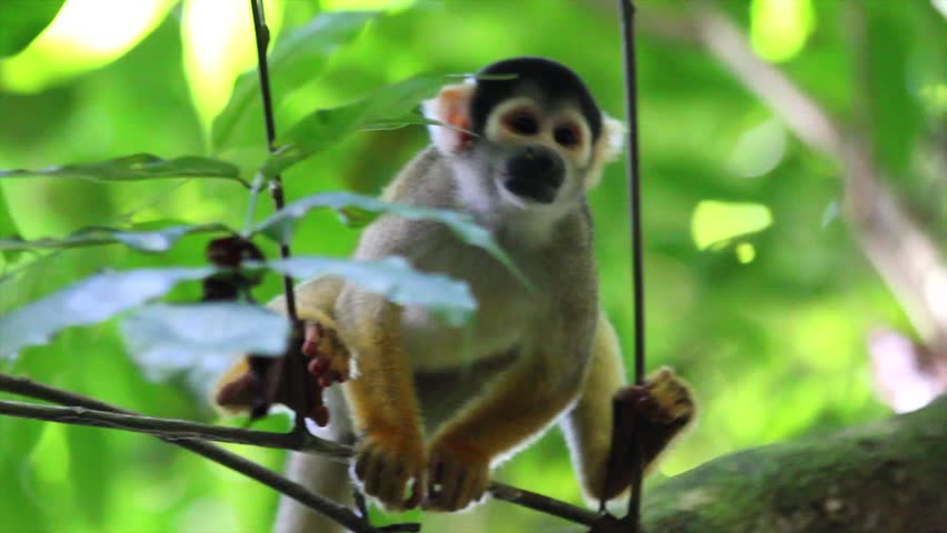 A cute and inquisitive WILD Squirrel Monkey (Saimiri boliviensis) in the Peruvian Amazon #1940260
