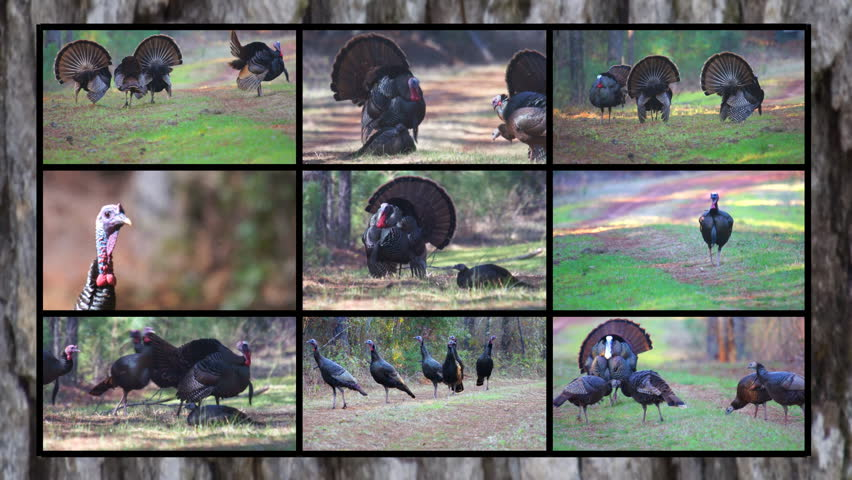 Wild Turkey of North America - HD stock footage clip