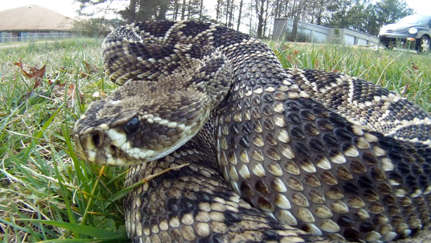 Eastern Diamondback Rattlesnake (Crotalus Adamanteus) Is A ...