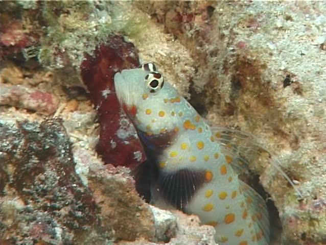 Header of Amblyeleotris guttata