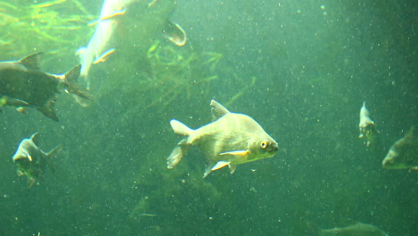 Carp bream definition meaning for What does carp mean
