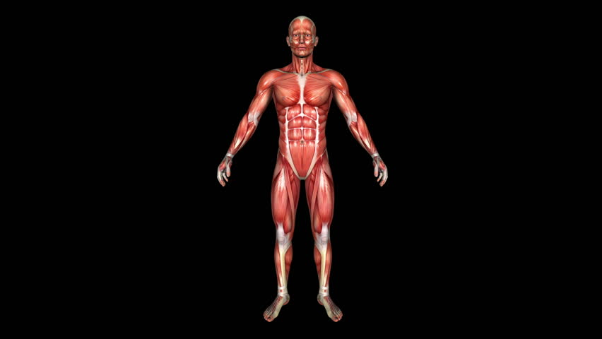The Human Normal Body Muscle Animation. Loop. Alpha Matte - HD stock footage clip