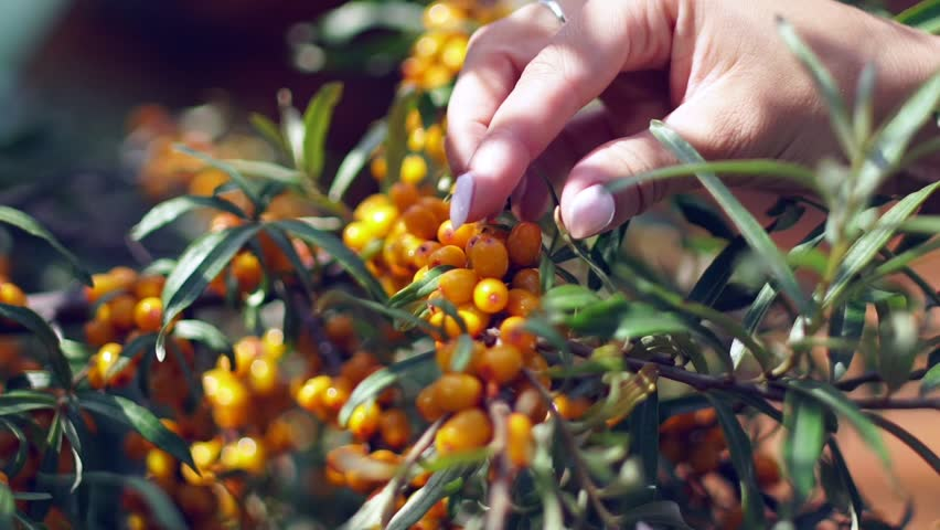 Female hands harvested sea buckthorn. Collection of sea buckthorn. Buckthorn bush. Sea buckthorn bush. Buckthorn berries on the bush. Small yellow sea-buckthorn berries. Ripe sea-buckthorn Harvesting - HD stock video clip