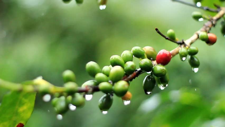 3 ripening cherries - 2 10