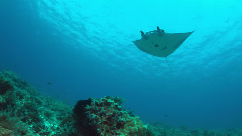 Manta ray swims against the current on a coral reef with healthy corals. 4k footage | Shutterstock HD Video #19861951