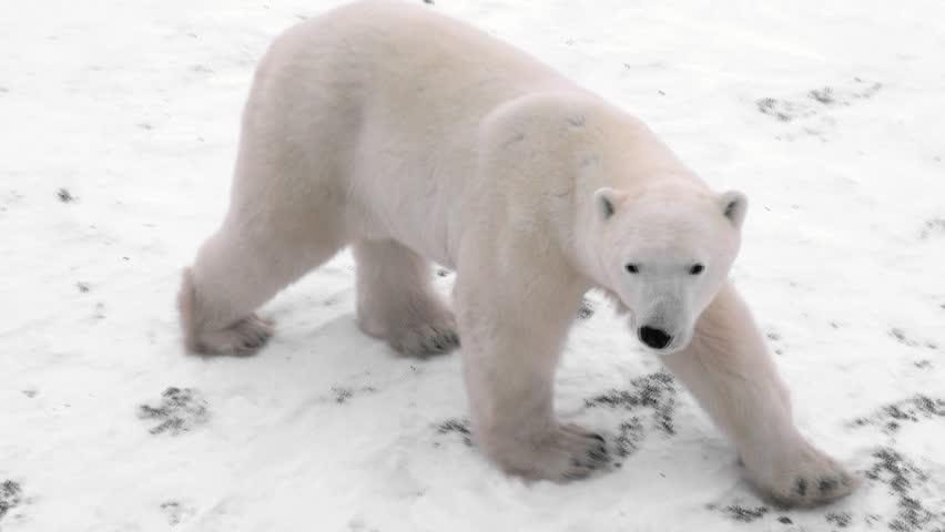 Wild polar bear tracked from a tundra Lodge in Churchill Canada
