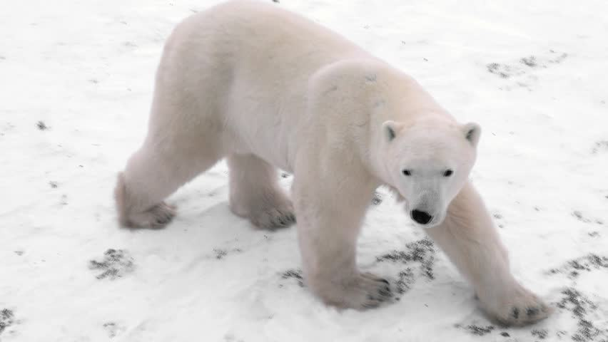 Wild polar bear tracked from a tundra Lodge in Churchill Canada