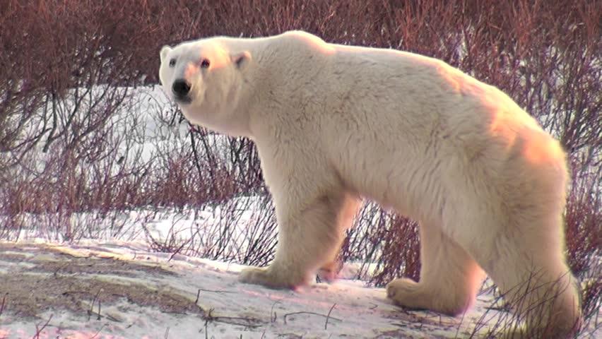 Wild adult polar bear mom is followed by her cub.