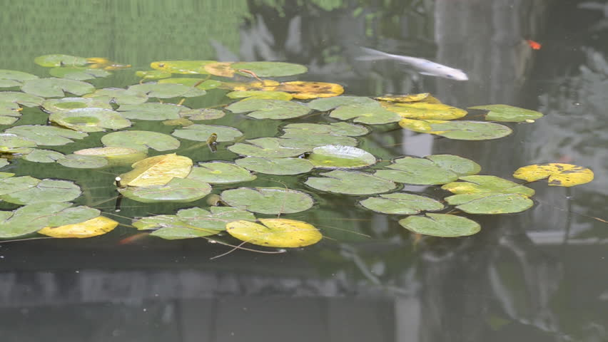 Garden lotus leaf and koi fish in pond stock footage video for Koi fish pond lotus