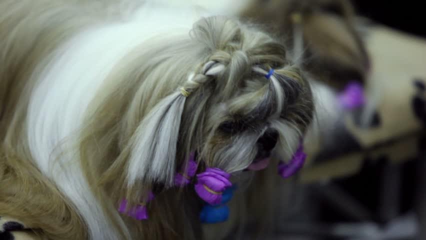 Little dog of shin tzu breed watch on comb, closeup view - HD stock video clip