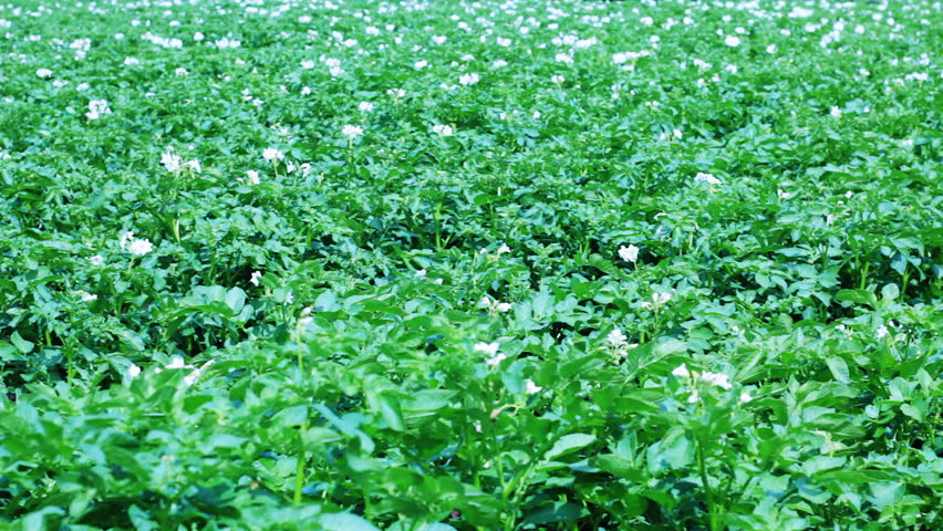 Potato Field With Flowers Stock Footage Video 2005574 ...