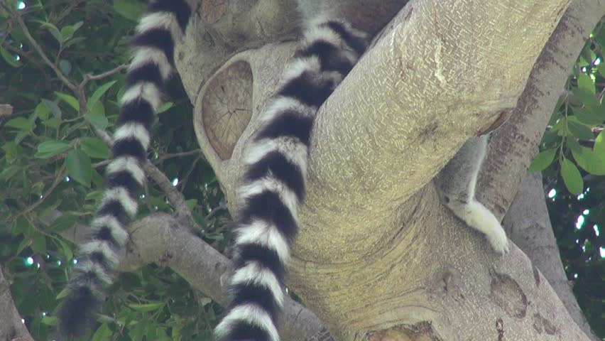Lemur relaxing on a tree | Shutterstock HD Video #20229808