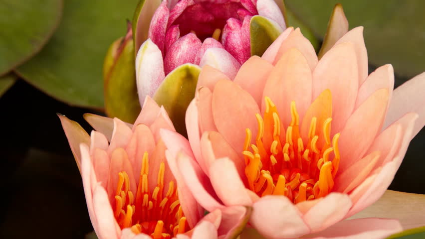 Time lapse opening of water lily flower  | Shutterstock HD Video #2025769