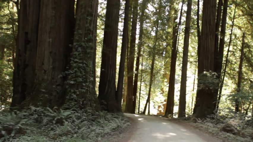 Paved path through redwood forest
