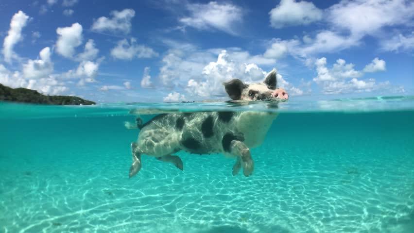 Wild, swimming piglet on Big Majors Cay in Bahamas | Shutterstock HD Video #20315884