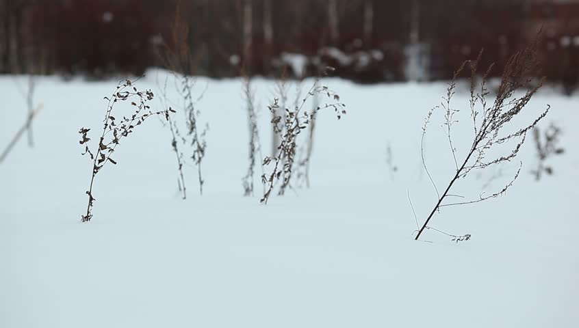 Winter landscape close up, dried plants tremble on cold breeze, stick over soft snow field. Shallow DOF, blurred background. Camera focused on dry grass, naked black branch sway on winter wind. #20541712