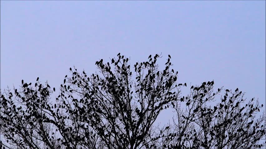 Crows, tree, halloween, sound   | Shutterstock HD Video #20573626