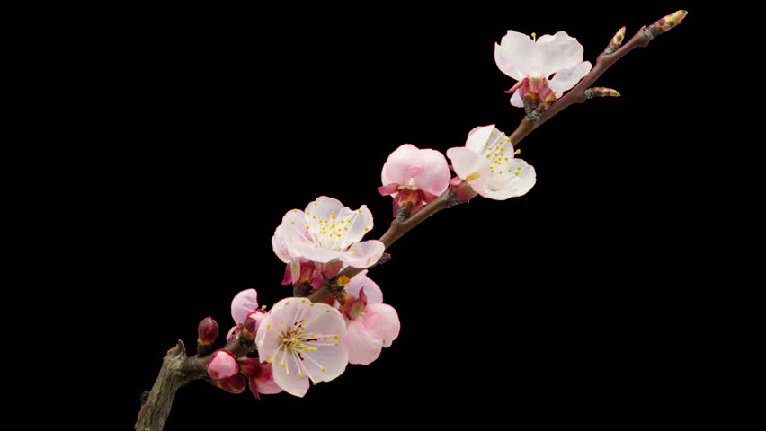 Apricot flower growing timelapse cut out, encoded with photo png, transparent background/ Daffodil flower blossoming cut out timelapse #20718580