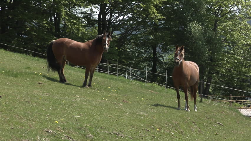 Two horses on grassland, playfully running and curiously alert  - HD stock footage clip