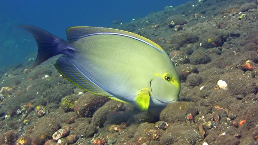 Header of Acanthurus xanthopterus