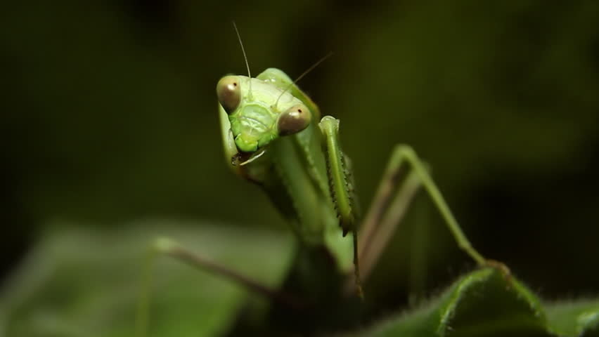 Mantis Grooming Frontal Close Up (HD). Green Mantis Insect seen from the front grooming.