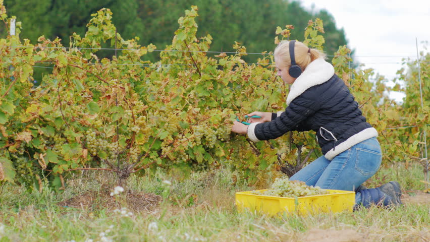 Young woman with headphones running in the vineyard. Cuts ripe bunches of white grapes and listening to music - 4K stock footage clip