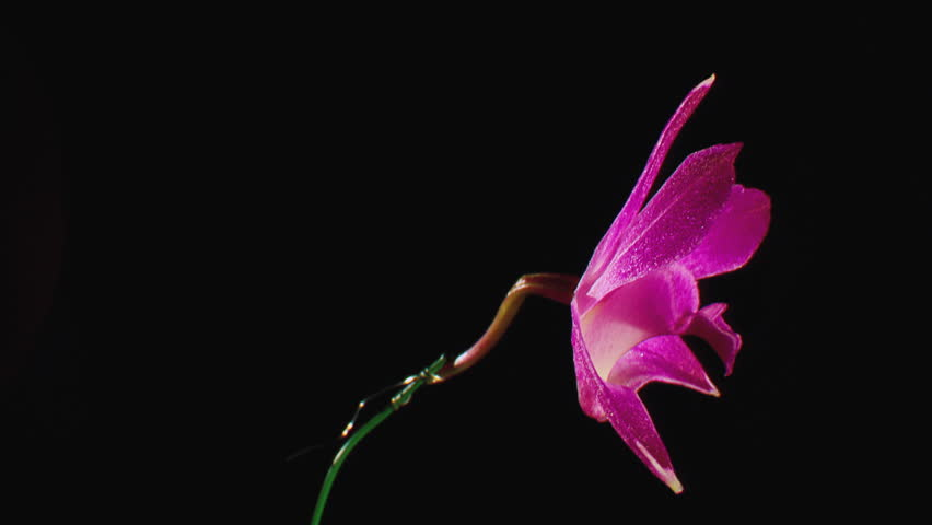CU Pink Orchid flower (Orchidaceae) spinning against black background (October, 2012) #21288793