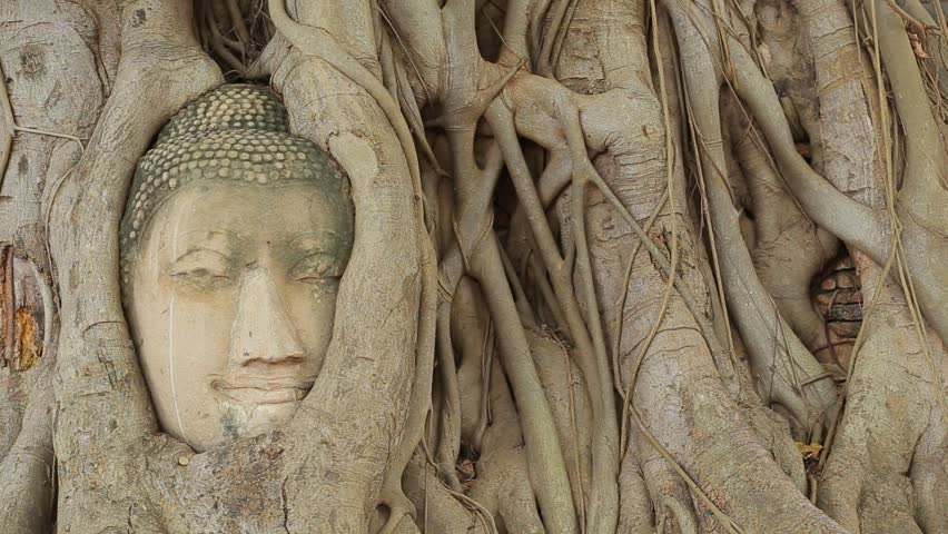 The head of the sandstone Buddha image in the temple, buddha's head in the root, Wat Mahathat, Phra Nakhon Si Ayuttaya, Thailand.   Shutterstock HD Video #21296902