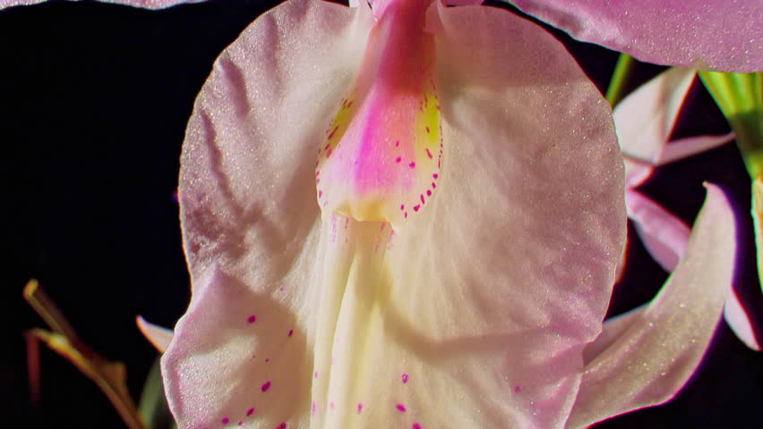 CU TD Pink Orchid flower (Orchidaceae) against black background (October, 2012) #21327295