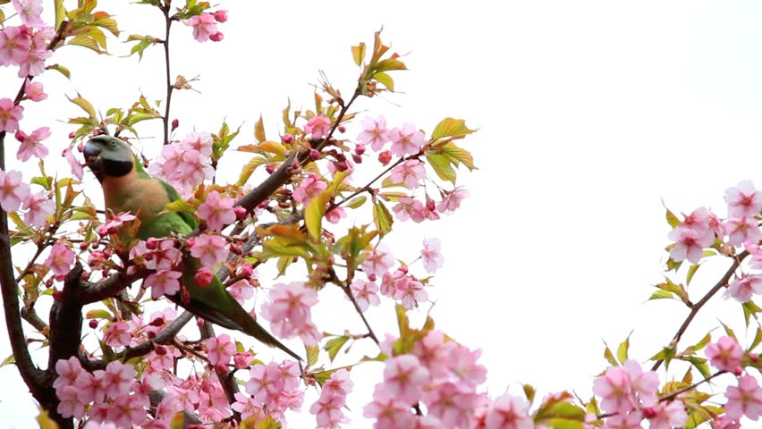 Branch with spring flowers on a cherry tree with bird.
