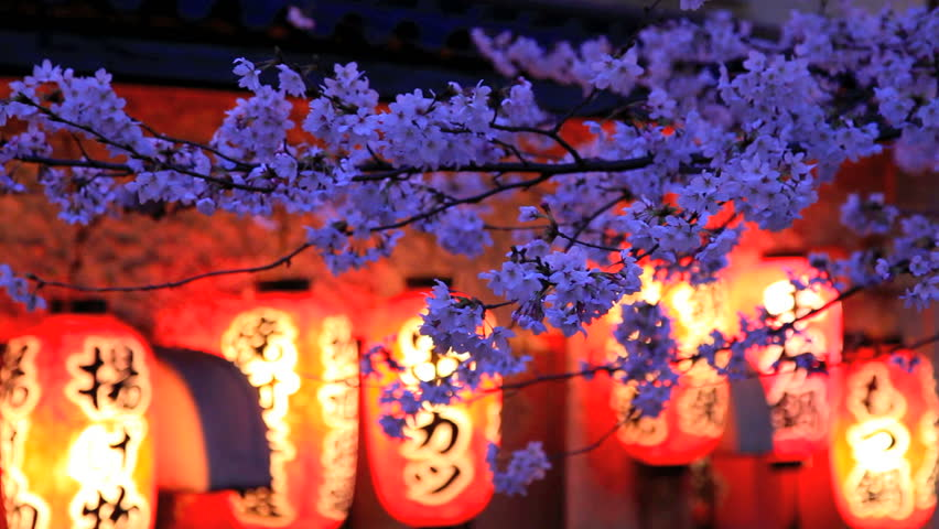 Evening. The branches of cherry blossoms against a background of Japanese lanterns.