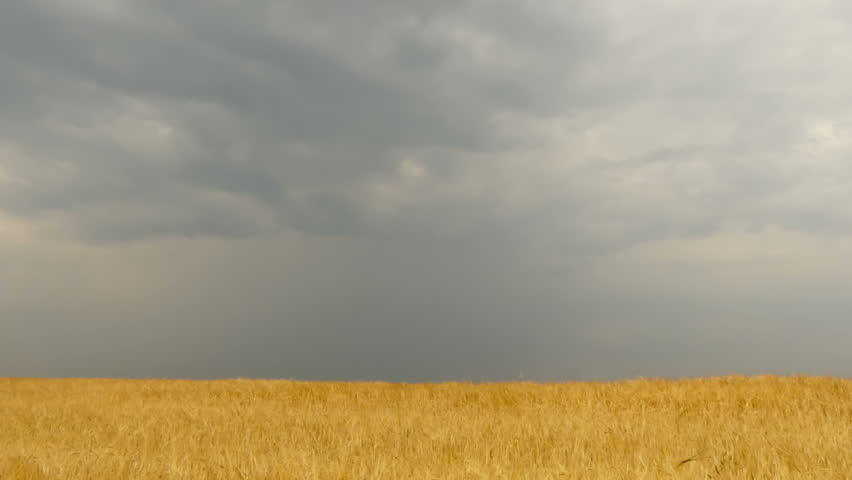 Field of wheat under storm front moves across an open field bringing rain. Time Lapse #21678736
