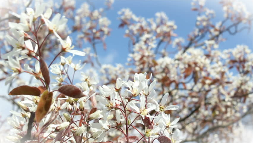 Header of Amelanchier lamarckii