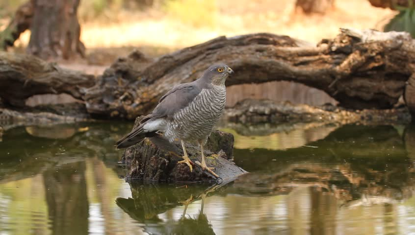 Adult female of Eurasian sparrowhawk rinking water in a river in summer. Accipiter nisus | Shutterstock HD Video #21924391