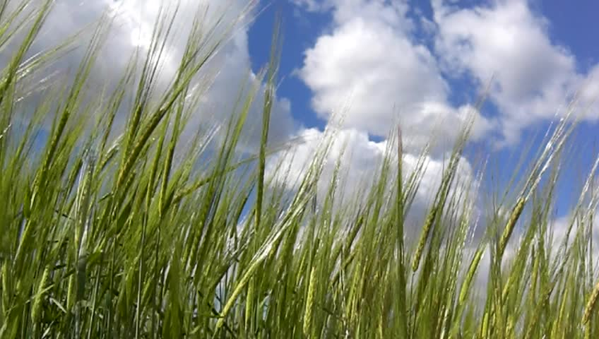 Green barley with blue sky - SD stock video clip