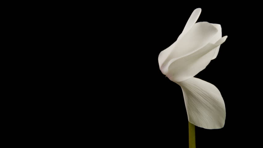 Beautiful time lapse of a flower opening up. | Shutterstock HD Video #22201483