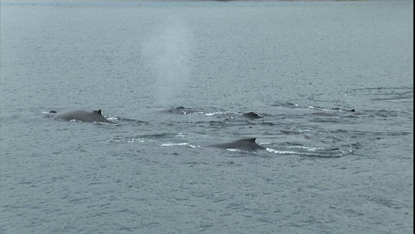 Synchronized Humpback Whale Pod Dive, Point Adolphus, Alaska - HD stock video clip