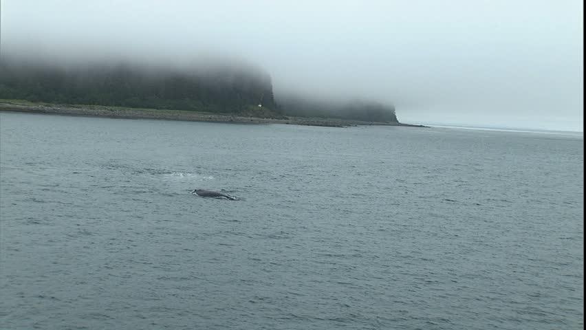 Humpback Whale Breach, Point Adolphus, Alaska - HD stock footage clip