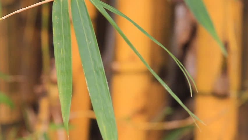 Yellow bamboo. - HD stock video clip
