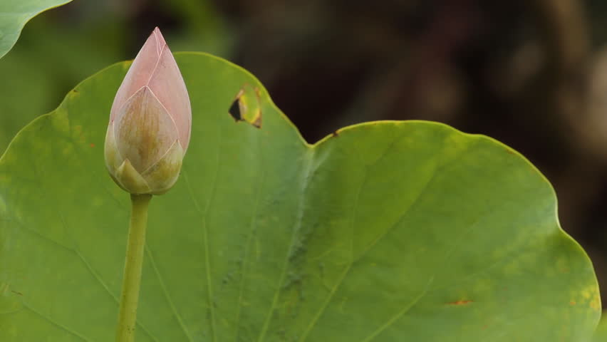 Lotus | Shutterstock HD Video #2235460