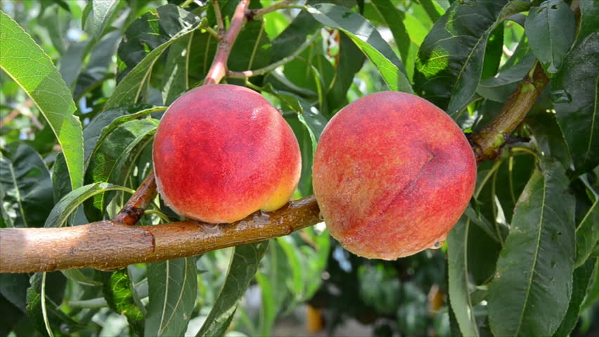 Ripe peaches grow on a branch among green leaves. Footage 1920x1080 - HD stock video clip